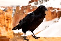 Bryce Canyon Winter Crow