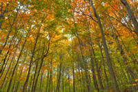 Fall Forest Foliage